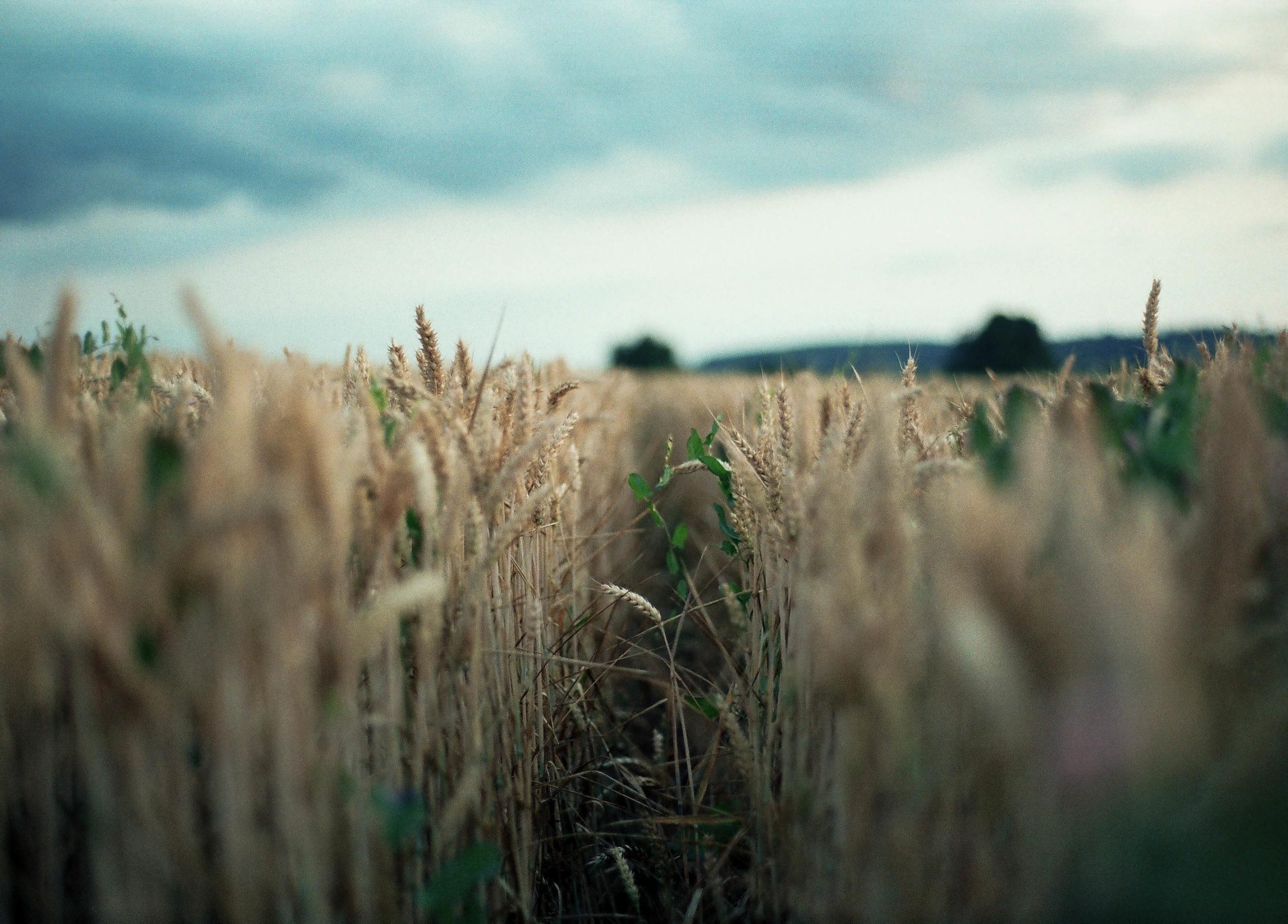 Weizenfeld am Abend mit wolkigem Himmel