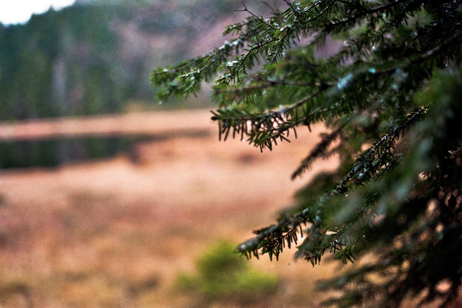 Nahaufnahme von Zweigen eines Nadelbaums im Herbst